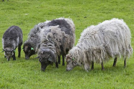 Shaggy, unshaven sheep graze in spring on a lush mountain meadow
