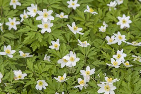 Even in Norway wood anemones decorate the forest floor at spring time