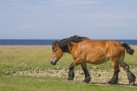 horse grazes on a meadow near the Norwegian North Sea coast in the nature reserve Morups Tange