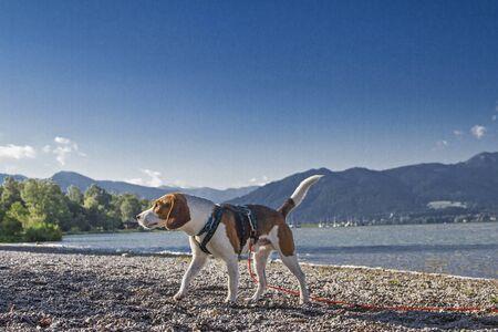 Beaglerüde läuft am Kiesstrand des Tegernsees spazieren