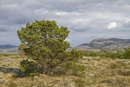 dyllic high moor with pine on the island of Indre-Vikna