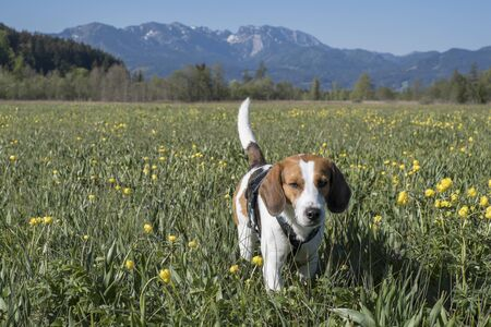 Beagle wanders through a moor meadow with many blooming globeflowers Reklamní fotografie