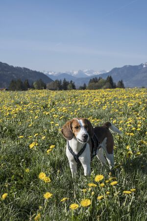 Beagle enjoys spring in Upper Bavaria in a blooming dandelion meadow