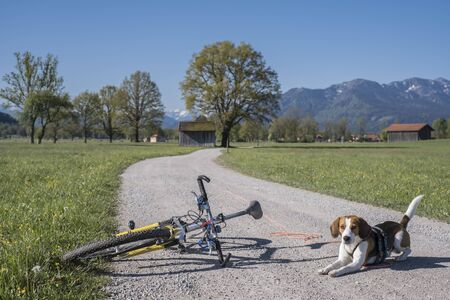 Beagle takes a bike tour in the Isarwinkel near Gaissach