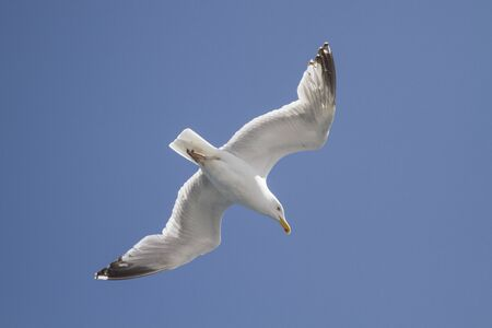 Flying seagull photographed from a low angle against a cloudless blue sky