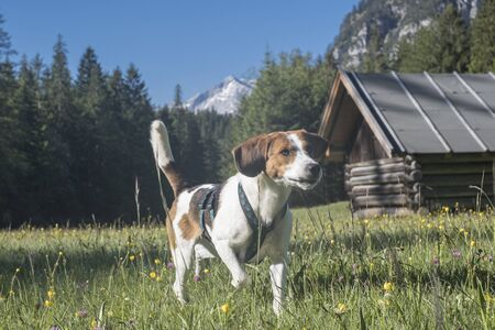 Beagle whizzes across the blooming flower meadows on a hike to the Enningalm in Werdenfelser Land Reklamní fotografie