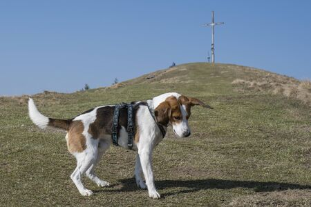 Beagle hikes to the summit of the Zwiesel near Bad Tölz in the Isarwinkel