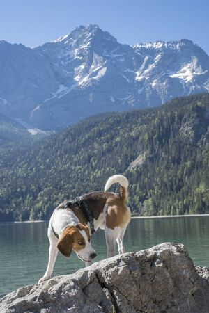 Beagle on the circular route around the idyllic mountain lake Eibsee in the Werdenfelser Land Reklamní fotografie