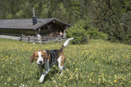 Beagle walks through a blooming alpine meadow to the Orterer Alm in the Benediktenwand area