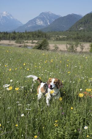Beagle enjoys the beautiful landscape on a flower meadow in the Loisach Valley near Eschenlohe