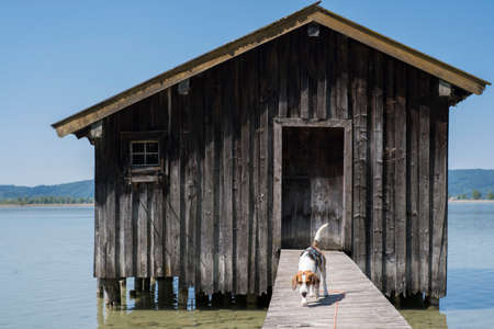 Beagle runs on a jetty to a boathouse on Kochel lake