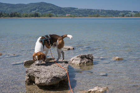 Beagle on a small rocky island on Lake Kochel