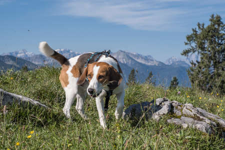 Beagle on a mountain hike to the Hochalm near the Sylvenstein lake