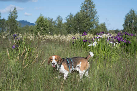 Beagle with blooming irises in an Upper Bavarian bog