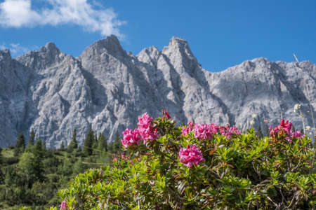 Blooming alpine rose meadow not far from the Ladizalm in the Karwendel Mountains
