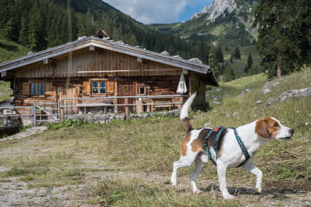Beagle on a hike through the Mangfall Mountains discovers the idyllic Soinalm