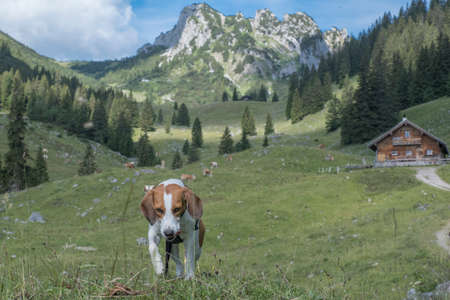 Beagle walks past the Soinalmen through the beautiful Mangfall Mountains