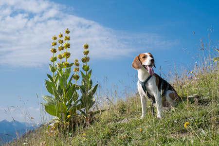 Beagle poses in front of a blooming yellow gentian on a mountain meadow