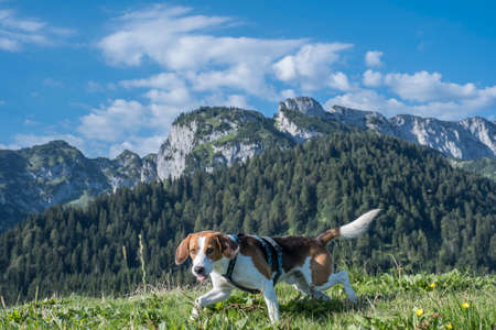 Beagle on the top of the Längenberg - in the background Benediktenwand Reklamní fotografie