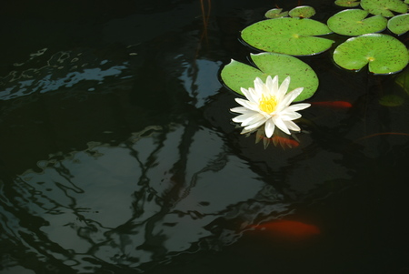 nymphaeaceae: white water lily in a pond with goldfish