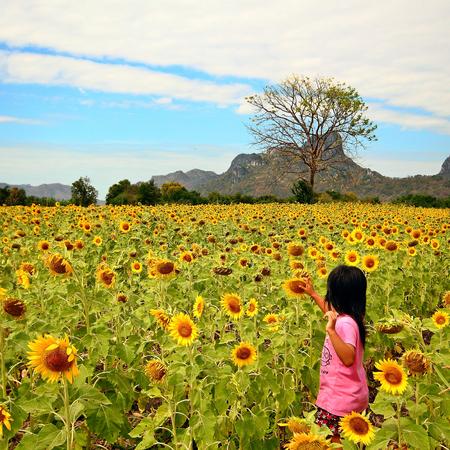 Sunflowers in Lopburi, Thailand travel photo