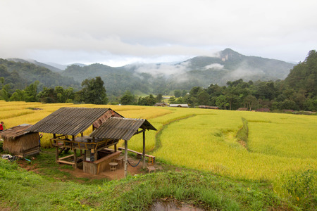 Golden rice Chiang Mai thailand photo