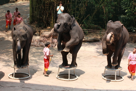 safari animal: elephant show at Safari world March 8, 2016 in Bangkok, Thailand.