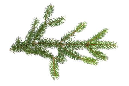 ponderosa pine winter: Pine branch on white background