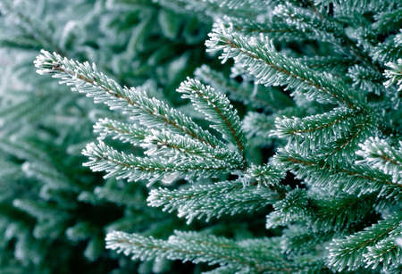 Pine tree covered with snow/frost in cold tones Stock Photo - 666668