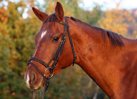 Porträt einer Bucht Vollblut-Pferd  Standard-Bild