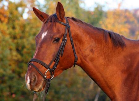 Portrait of a bay thoroughbred horse photo
