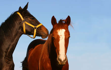 Two young thoroughbred horses, bay stallion and chestnut mare Stock Photo - 666673