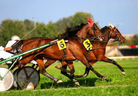 thoroughbred horse: Two trotting horses Stock Photo