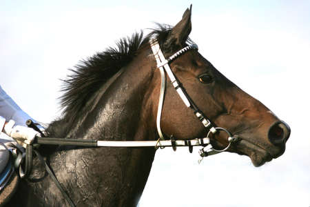 beautiful horse: Portrait of a bay thoroughbred horse Stock Photo