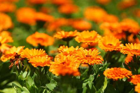 Orange pot marigold (Calendula officinalis) field photo