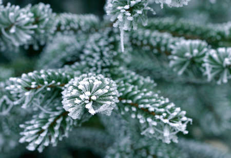 Detail of pine tree branch covered with snow/frost in cold tones Stock Photo - 666380