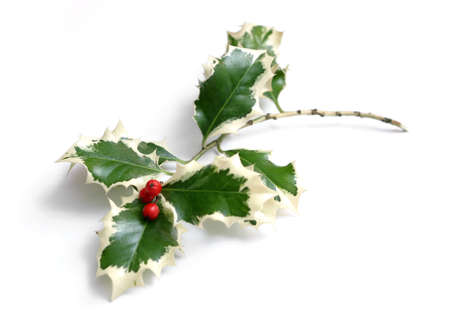 Holly with red berries on white background Stock Photo - 666366
