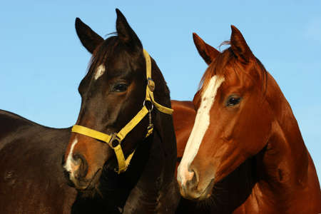 Two young thoroughbred horses Stock Photo - 666343