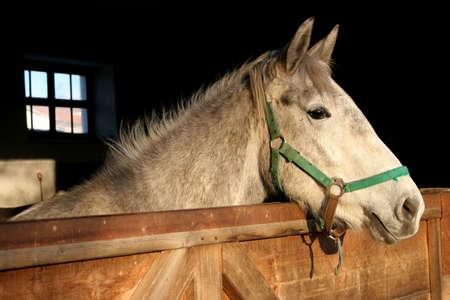 lipizzan horse: Young Lipizzan horse portrait