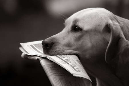 Labrador retriever bringing daily news Stock Photo - 666331