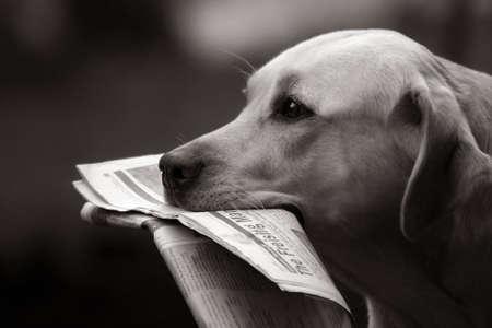 bringing: Labrador retriever bringing daily news