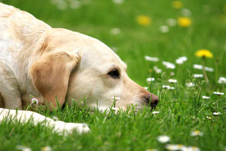Labrador retriever lying on the grass Stock Photo - 666330