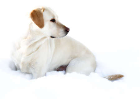Female labrador retriever on the snow Stock Photo - 666328