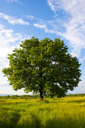 Solitary oak tree, warm late afternoon colors.  Stock Photo - 7022819