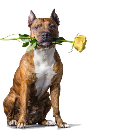 American Staffordshire Terrier with a yellow rose in the mouth before white background. Фото со стока