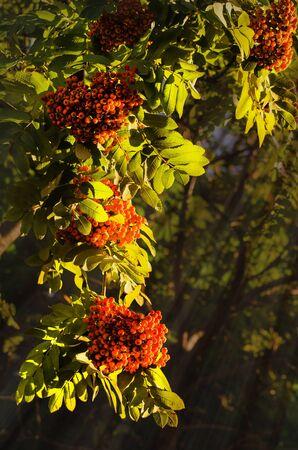 ash berry: Rowan berries, Mountain ash tree with ripe berry