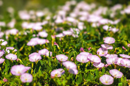 convolvulus: Bindweed (Convolvulus arvensis) pink flower in the field Stock Photo