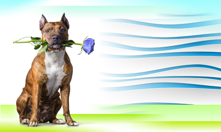 completely: Abstract striped background with American Staffordshire Terrier with a light-blue rose in the mouth before white background.