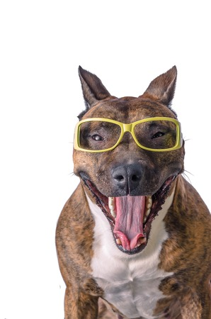 funny glasses: funny pitbull in glasses showing tongue