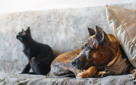 Fighting dog and her black cat resting on sofa Stock Photo